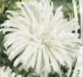 Семена астры Невеста 0,3г