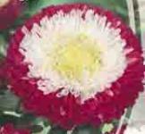 Семена Астры Зимняя Вишня 0,25г