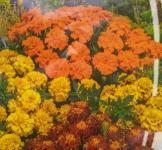 Семена Бархатцев отклоненных смесь 0,5г