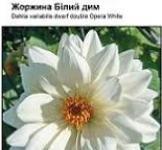 Семена Георгины Белый дым 0,1г (Hen Zaden Нидерланды)