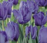 Луковицы тюльпанов Blue Parrot 1шт