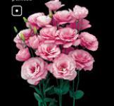 Семена Эустома Бореалис F1 розовая 5шт (Sakata Япония)