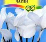 Семена Цикламен Чарли персидский* 3 шт. (ТМ Гавриш)