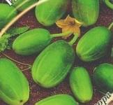 Семена огурца  Чупа-Щупс 5 шт ( ТМ Гавриш)