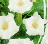 Семена Дурман Индийский Белый 0,5г