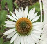 Семена Эхинацея Белый Лебедь 0,2г