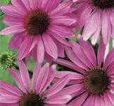 Семена Эхинацея  Пурпурная 0,2г