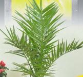 Финиковая пальма 2шт