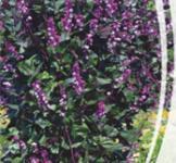 Семена Гиацинтовых Бобов (1г)