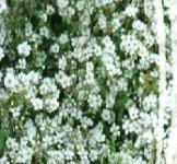 Семена Гипсофила Ползучая Белая 0,2г