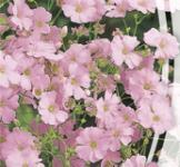 Семена Гипсофила Розовая 0,5г