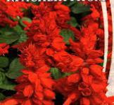 Семена сальвии блестящей Красный гном 0,2г