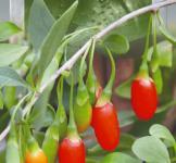 Семена ягоды Годжи 0,01г