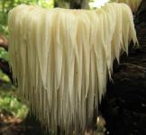 Мицелий  Гериция (лат. Hericium erinaceus)