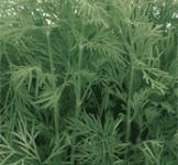Семена укропа Грибовский 3г