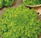 Семена салата Грин корал 1г