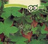 Семена хмеля японского Самурай* 0,17 г