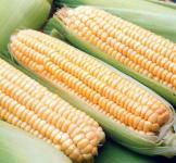 Семена кукурузы кормовой Хотин F1 3000шт