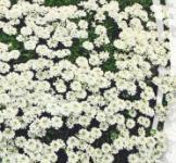 Семена Иберис вечнозеленый 0,1г