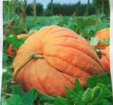 Семена тыквы Атлантический гигант 10шт