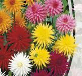 Семена Георгина кактусоцветная смесь 0,3г