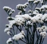 Семена Кермек (статица) Qis белый 10 шт (PanAmerican США)