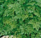 Семена кервеля Ажурный 1г