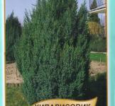 Семена Кипарисовик Лавсона 0,1г (Legutko Польша)