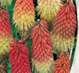 Семена Книфофия ягодная 0,2г