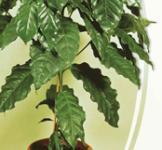 Семена Кофейное Аравийское дерево 1г