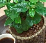 Семена Кофейное дерево 5шт (Legutko Польша)