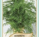 Семена Аспарагус пушистоперистый 5шт