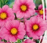 Семена Георгины Розовая лента (0,3г)