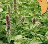 Семена лофанта Франт ТМ «Гавриш» (0,3г)
