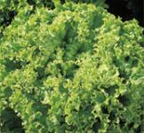 Семена салата Лоло бионда 1г