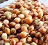 Семена лука-севка №2 Украина
