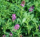 Семена люцерны посевной 1кг
