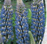 Семена Люпин Синее пламя 0,5г
