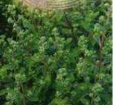 Семена майорана садового Байкал  0,1г ( ТМ Гавриш)