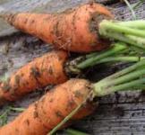 Семена моркови кормовой 0,2кг (Польша)