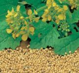 Семена горчицы Муштарда 3г