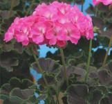 Семена Пеларгонии Найт Роуз F1 1шт (Cerny Чехия)