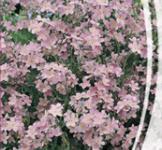 Семена Незабудка Розовая 0,1г
