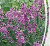 Семена ночная Фиалка Фиолетовая 0,25г
