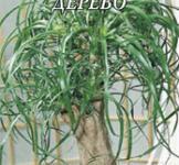 Семена Нолина Бутылочное дерево 4шт