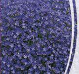 Семена Обриета фиолетовая 0,1г