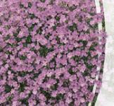 Семена Обриета розовая 0,1г