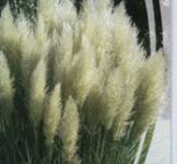 Семена  Пампасная Трава Серебристая 0,1г