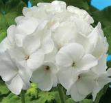 Семена Пеларгонии Бланка F1 10шт (Cerny Чехия)