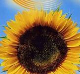 Семена Подсолнечника Лакомка 10г